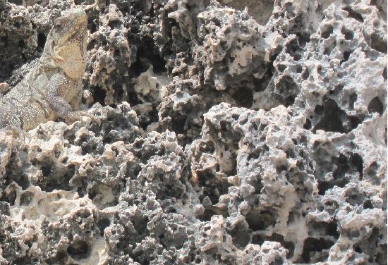 iguana y rocapng